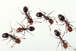 Ant Treatments Hervey Bay